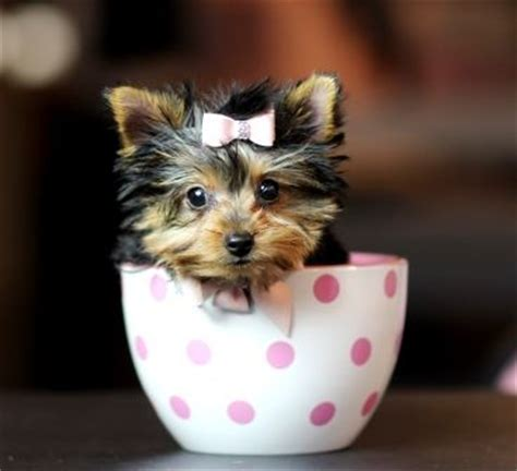 teacup yorkie for sale in alabama baby teacup yorkies for sale