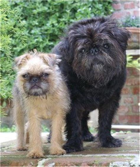 brussels griffon pug mix 16 pug cross breeds you to see to believe