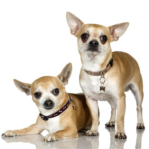 chi puppy how to care for and chihuahua