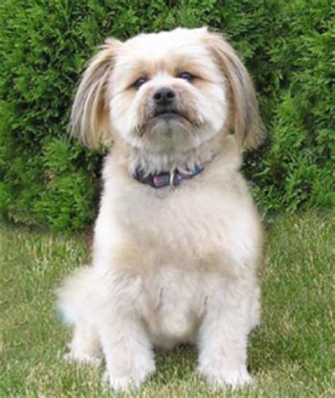 pomeranian and shih tzu mix all about the pomeranian shih tzu mix dogable