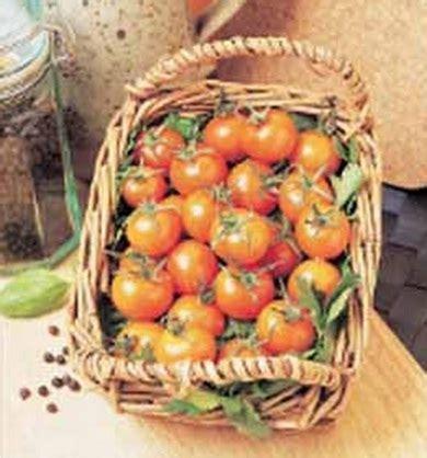 Bibit Biji Benih Buah Kiwi Sungold benih tomato sungold f1 1 biji non retail bibitbunga