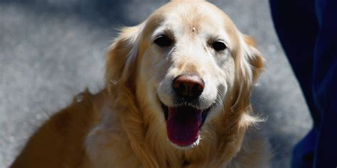 what is an golden retriever science explains why golden retrievers are awesome huffpost