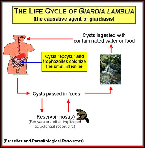giardia treatment giardia in humans