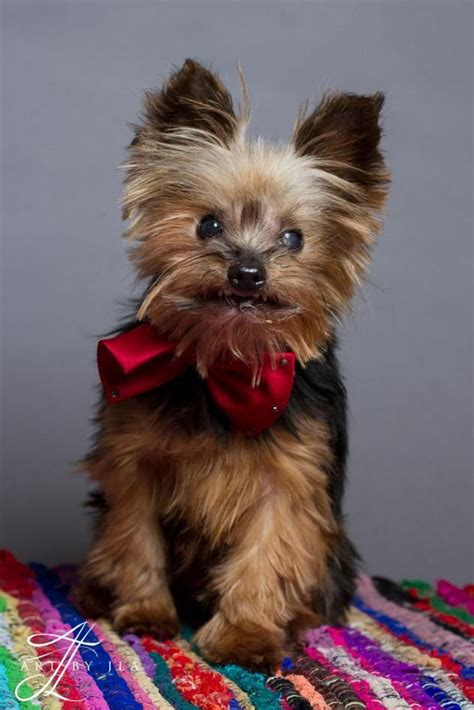 yorkies in louisiana 25 best ideas about terriers on terrier puppies