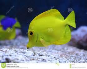 Yellow aquarium fish. Yellow tang.