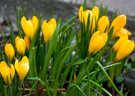 8 spring flowers to feed the bees early nectar plants earth and hearth