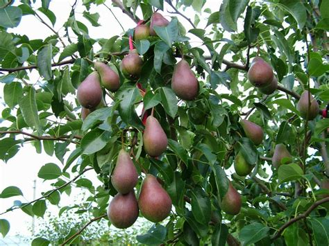 when do pear trees produce fruit pear tree pictures images phtos info about pear trees