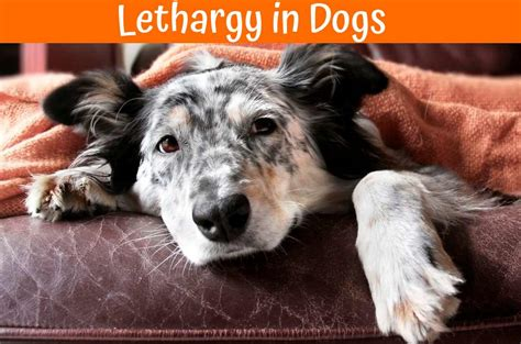 puppy is lethargic best guide to treat lethargy in dogs and review your dogs health us bones