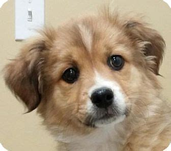 border collie shih tzu mix puppies ky border collie shih tzu mix meet wilma a puppy for adoption