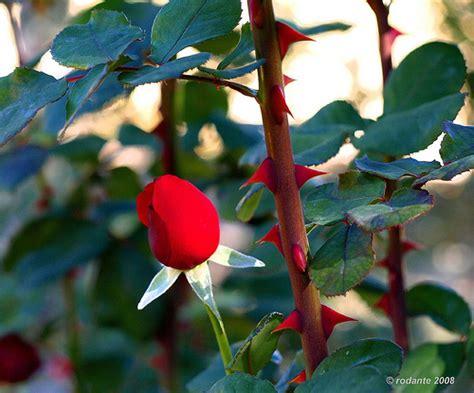 imagenes rosas con espinas tribales de rosas con espinas imagui