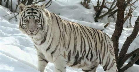 wallpaper harimau hitam gambar harimau putih yang sangar gambarnya gambar