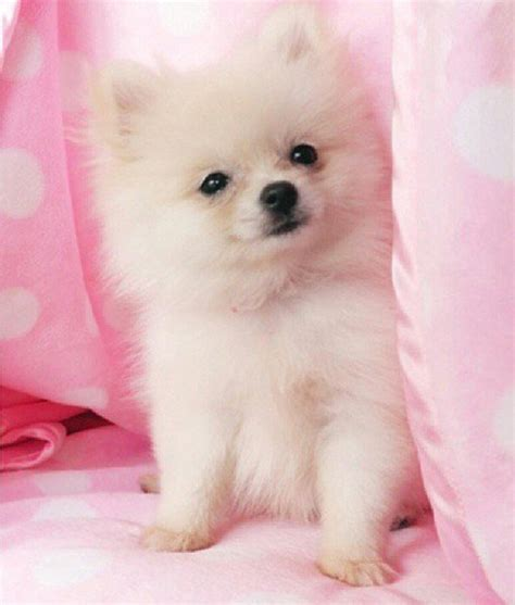how big are teacup pomeranians teacup pomeranians 101 personality