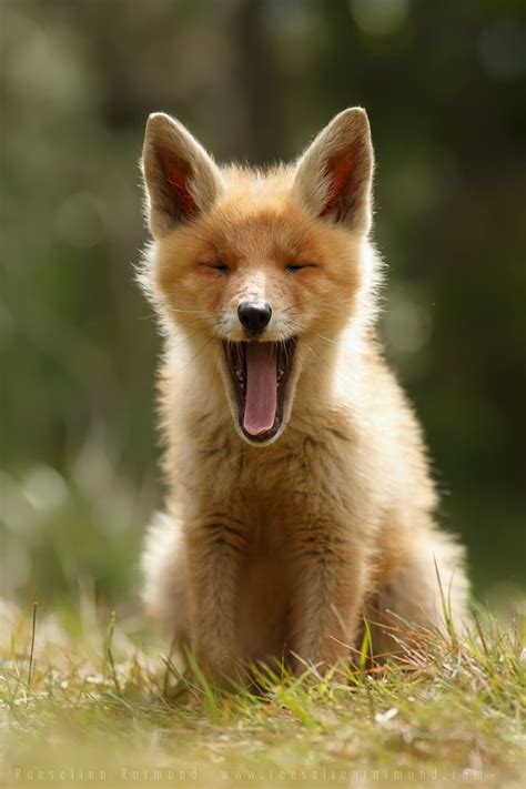 heartwarming photos of adorable baby foxes my modern met