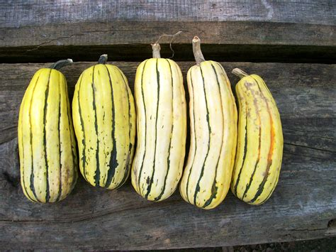 delicata zeppelin winter squash   southern exposure