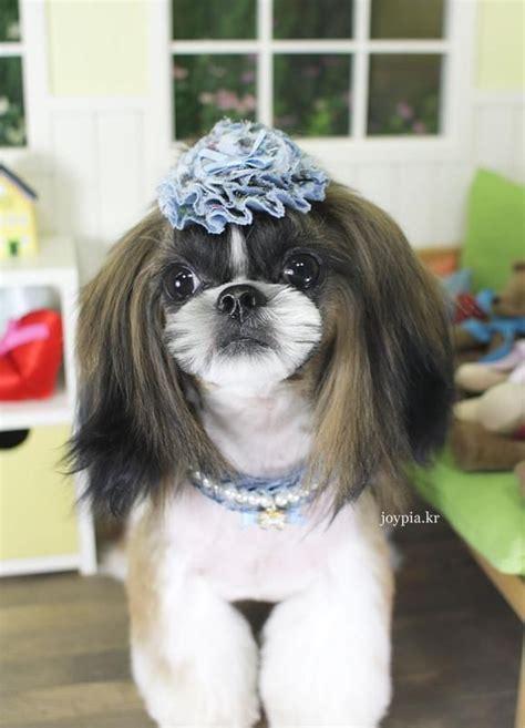grooming styles for shih tzu korean grooming style shih tzu grooming