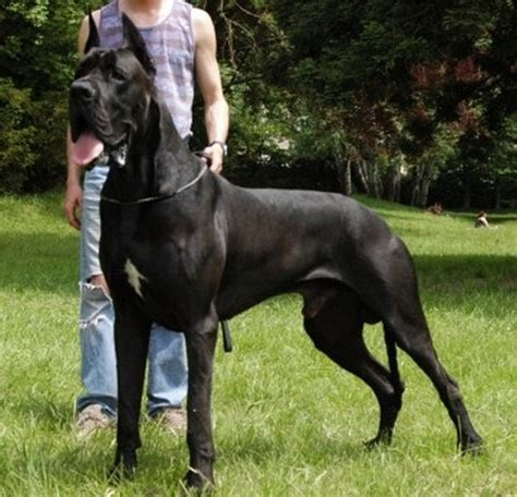 largest dogs in the world dogs in the world xcitefun net