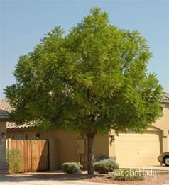 best shade trees for backyard a wonderful dilemma part 2 ramblings from a desert garden
