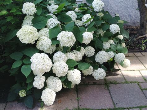 pruning our hydrangeas crossing our fingers rather square
