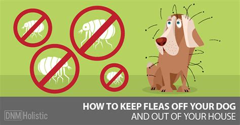 home remedies  fleas