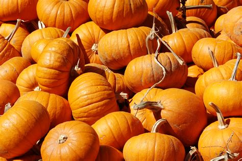 pumpkin pics pumpkins for sale at the farm this year wedgwood