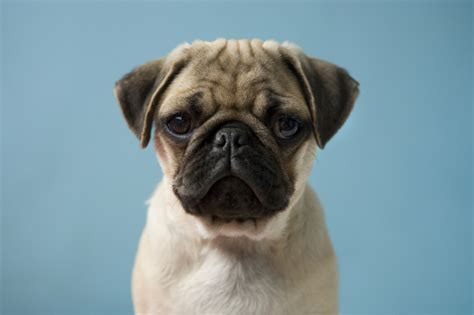 looking pugs pugfest is desperately looking for volunteers who absolutely pugs metro news