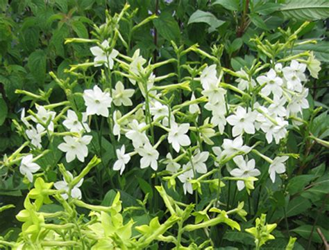 Foliage Plants For Shade - nicotiana alata grandiflora buy online at annie s annuals