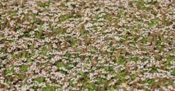 teppich verbene teppichverbene phyla nodiflora g 252 nstig kaufen