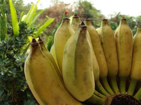 pisang awak berkah khair