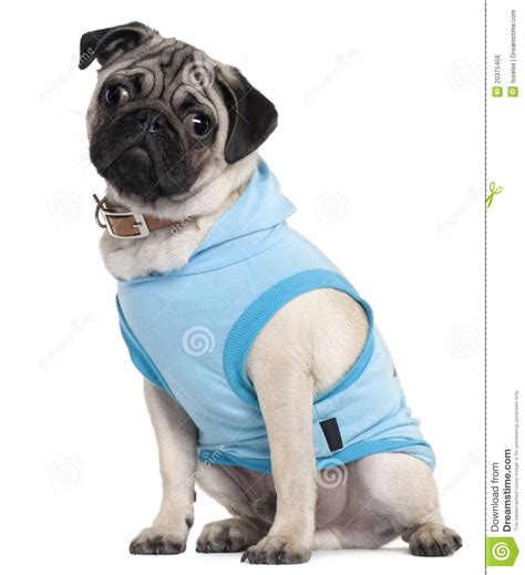 blue pug puppies pug puppy dressed in blue hoodie 6 months royalty free stock image image 20375456