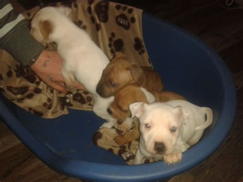 pound puppies for sale staffy puppies forsale 200 pound wolverhton west midlands pets4homes