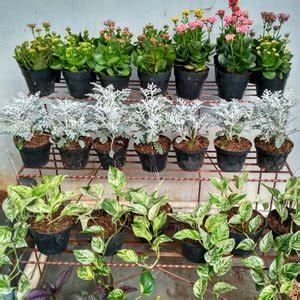 jual tanaman hias hidup silver dust cineraria putri salju