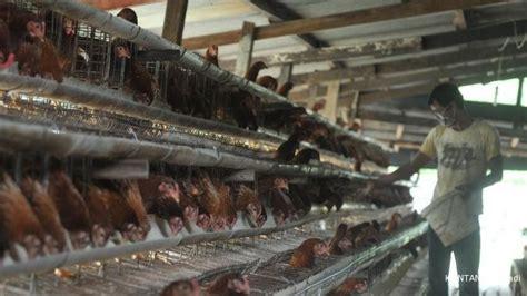 Harga Jagung Pakan Ternak Per Kg gpmt duh harga pakan ternak naik rp 250 per kg