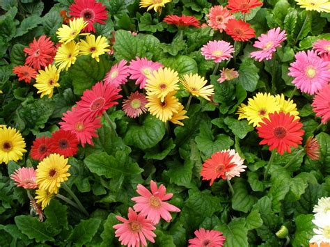 Pretty Plant Names by Romantic Flowers Gerbera Flower