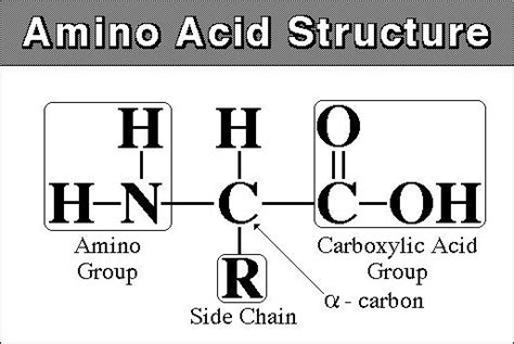 amino acid template cards functional groups by xuesi at new york studyblue