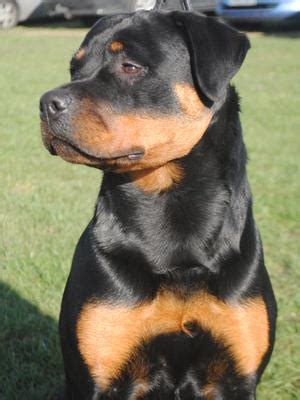 juffther rottweilers rottamore rottweilers