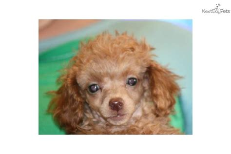free teacup puppies in oklahoma poodle for sale for 1 000 near oklahoma city oklahoma 2769ea35 5481