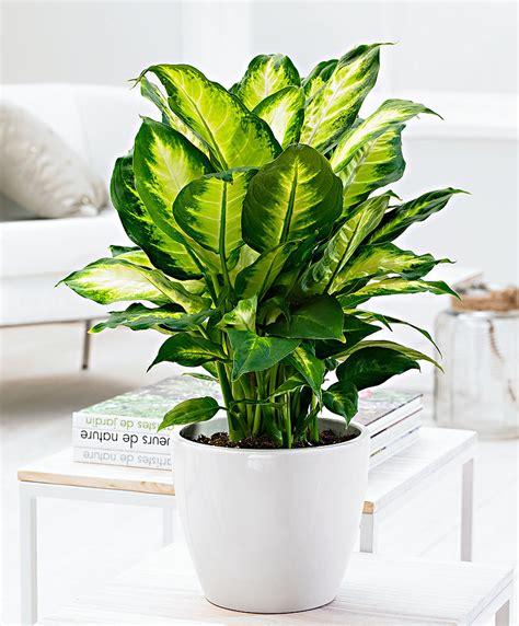 buy house plants buy house plants now dieffenbachia camilla