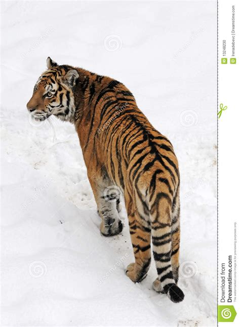tiger rubber st tiger stock photo image 13248230