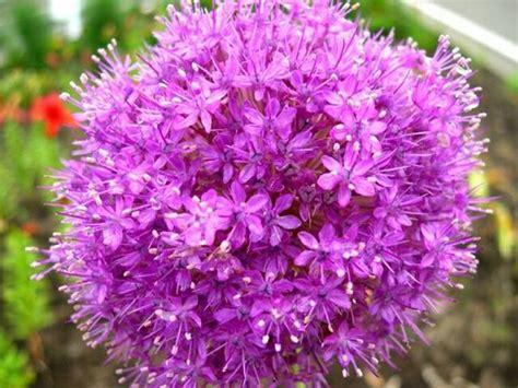 jual benih biji bunga allium allium giganteum