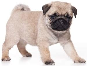 are pugs apartment dogs apartment dogs best breeds for apartments k9 research lab