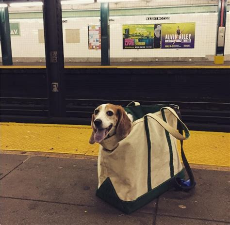 Dogs That Fit In Your Purse by Nyc Subway Bans Dogs Unless They Fit Into A Bag And New