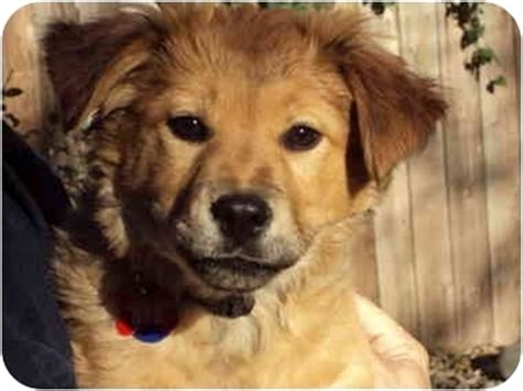 golden retriever mix puppies rescue marcie adopted puppy adopt pending sacramento ca golden retriever chow chow mix