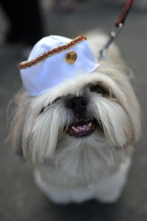 when do shih tzu lose their baby teeth 26 best ideas about shitzu on spikes puppys and