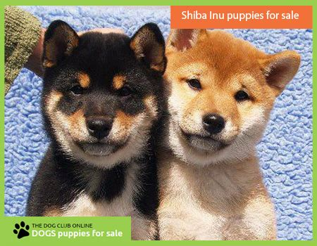 shiba inu puppies for sale in florida dogs puppies for sale buy sell pets in swansea shiba inu puppies for sale