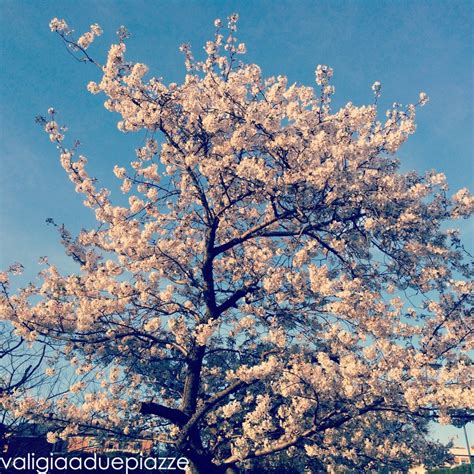 fiori in giapponese ciliegi giapponesi in fiore a roma