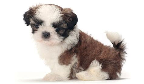 shih tzu breed info shih tzu wallpapers pictures breed information breeds picture