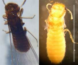 Landscape Timbers Termites Insects In The City Formosan Termite Swarming Season