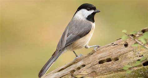 carolina chickadee identification all about birds
