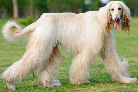 hair dogs top 10 haired breeds in the world 2018 dogmal