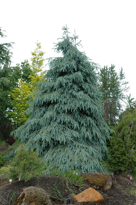 bushs lace engelmann spruce picea engelmannii bushs